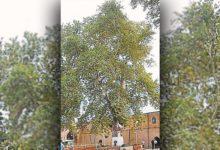Photo of Какое дерево признано деревом 2020 года в России?»