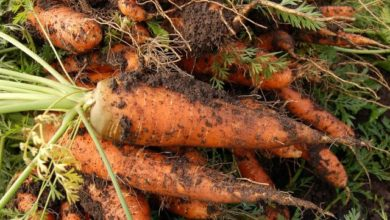 Photo of Какие сорта моркови можно сажать под зиму?»