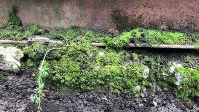 Photo of Необычный сорняк. Что делать, если в теплице появился мох?»