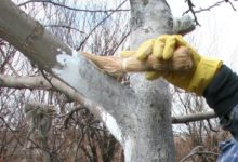 Photo of Когда лучше побелить деревья на даче?»