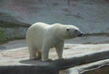 Photo of Якутский оленевод рассказал, как смог выжить при встрече с белой медведицей»