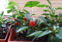 Photo of Как вырастить зимой на подоконнике клубнику, помидоры и огурцы?»