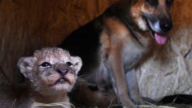 Photo of В Приморском крае овчарка выкормила львят, от которых отказалась мать»