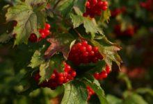 Photo of Какими цветами окрашивается куст калины в разное время года?»