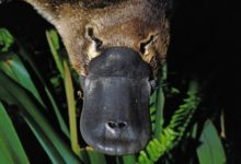 Photo of В Австралии за 30 лет среда обитания утконосов сократилась на 22%»