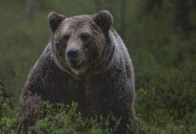 Photo of В подмосковных Мытищах начнут ловить медведя-шатуна»