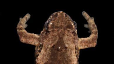Photo of Биологи МГУ нашли в Таиланде крошечную лягушку с голосом кузнечика»