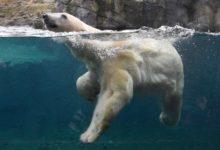 Photo of В Московском зоопарке умерла белая медведица»