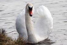 Photo of На Курильский остров Кунашир спустя 35 лет вернулись краснокнижные лебеди»