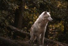 Photo of В лесах Тамбовской области нашли только двух волков»