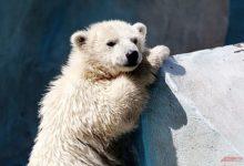 Photo of В Ростовском зоопарке пара белых медведей родила медвежонка»