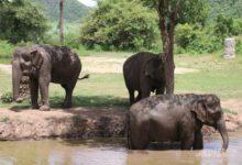 Photo of В Намибии на продажу выставили 170 диких слонов»