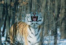 Photo of Амурская тигрица погибла в ДТП в Хабаровском крае»