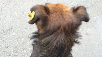 Photo of Что означает желтая бирка на ухе у собаки?»