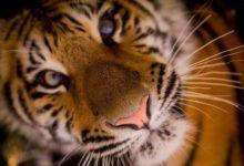 Photo of Сына тигра Амура из Приморья отправили к невесте в ОАЭ»