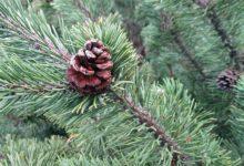 Photo of Бывает ли аллергия на елку?»